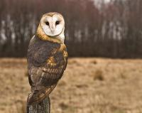 owl-looking-at-camera-jody-trappe-photography.jpg